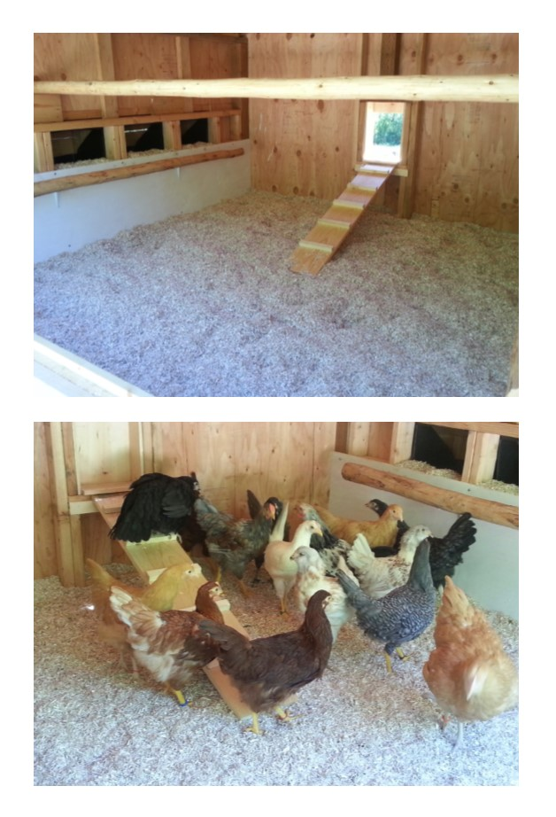 coop&chickens